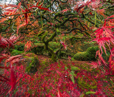 High angle view of Japanese Maple at garden - CAVF38685