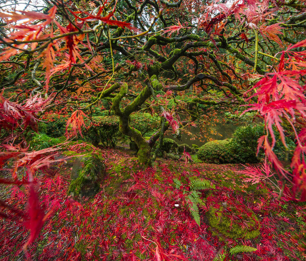 High angle view of Japanese Maple at garden - CAVF38685 - Cavan Images/Westend61