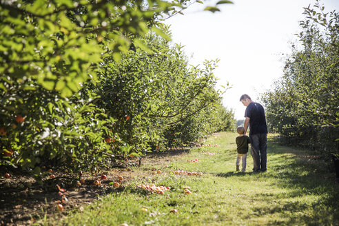 Rear view of father and son walking on field in apple orchard - CAVF42976