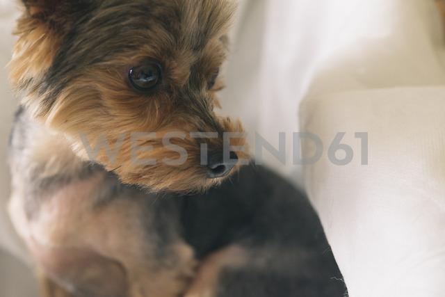 Portrait of yorkshire terrier looking sideways - SKCF00427