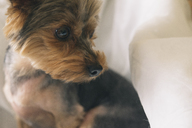 Portrait of yorkshire terrier looking sideways - SKCF00427