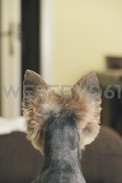 Portrait of yorkshire terrier, backview, looking to door - SKCF00430
