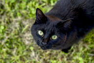 Portrait of black cat on a meadow - SARF03669