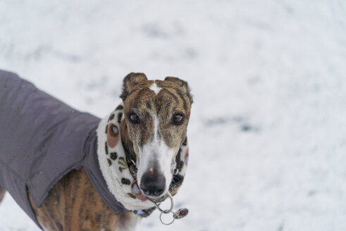 Portrait of dressed Greyhound in the snow - SKCF00437