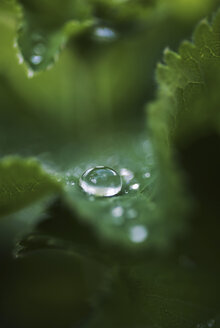 Selective focus of dew drop on leaf - MASF05947