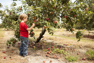 Side view of boy picking apples in orchard - CAVF43789