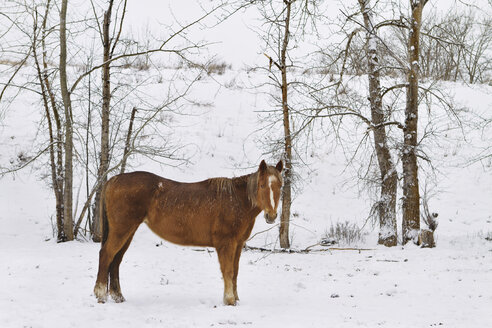 Horse standing on snow covered field - CAVF44920