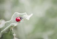 Ladybug on a leaf - CZF00322