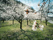 Austria, Wachau, Apricot blossoms - EJWF00870