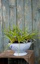 Grape hyacinths growing in enamel colander - GISF00321