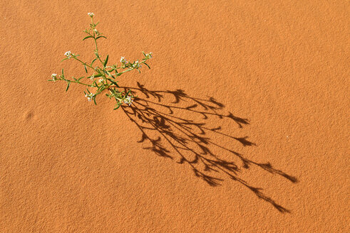 Algeria, Tassili n'Ajjer National Park, Sahara desert, flowering plant on sand dune - ESF01591