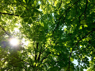 Sun shining through leaves of a chestnut tree - JTF00989