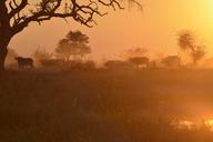 Africa, Namibia, Bwabwata National Park, Kwando Core Area, herd of buffalos - ESF01635