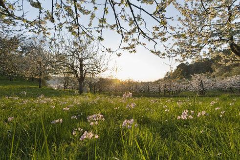 Germany, Baden-Wuerttemberg, Sipplingen, cuckoo flower, Cardamine pratensis, on meadow - SH02037