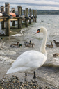 Germany,Swans and ducks at jetty at Lake Constance - SH02049