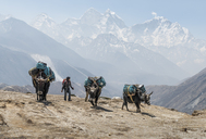 Nepal, Solo Khumbu, Everest, Dingboche, Sherpa guiding pack animals through the mountains - ALRF01045