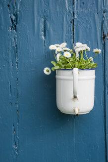 Flower decoration, white daisies flowering in enamel pot - GISF00335