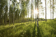 Sunlight in forest of birch trees - ISF00320