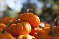 Pumpkins - ISF00500