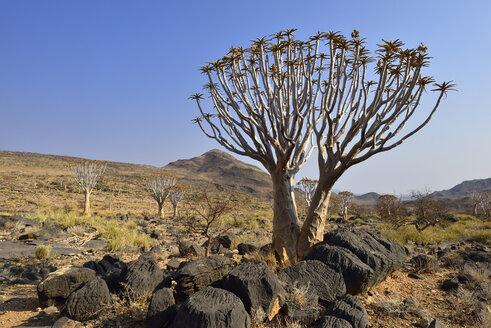 Africa, Namibia, Quiver tree, Aloe dichotoma, Namib Desert, Namib Naukluft mountains - ESF01659