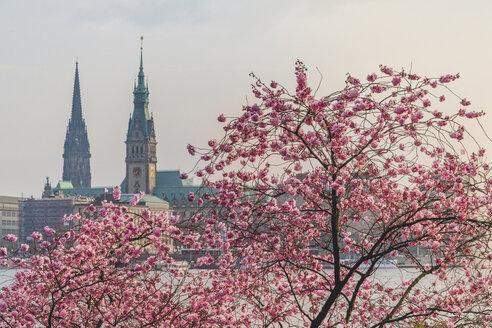 Germany, Hamburg, Germany, Hamburg, blossoming cherry tree at Binnenalster, towers of town hall and St. Nicholas' Church - KEBF00819