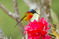 Thailand, Chiang Mai, Doi Inthanon, Green-tailed sunbird, Aethopyga nipalensis, male, perching on blossom - ZC00619
