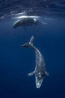 Humpback whale (Megaptera novaeangliae) and calf in the waters of Tonga - CUF03587