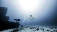 Diver swimming with Eagle Ray, underwater view, Cancun, Mexico - CUF03825