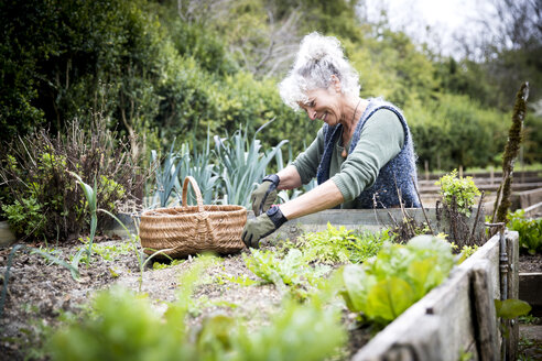 Mature female gardener tending lettuce on raised bed - CUF05243