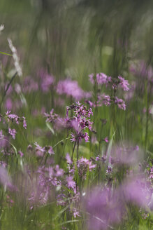 Ragged Robins on a wet meadow - ASCF00869