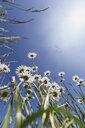 White marguerites against blue sky - ASCF00872