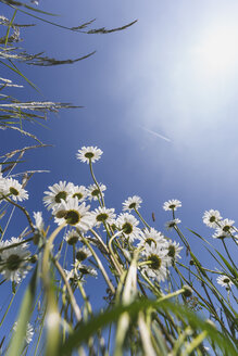 White marguerites against blue sky - ASCF00872