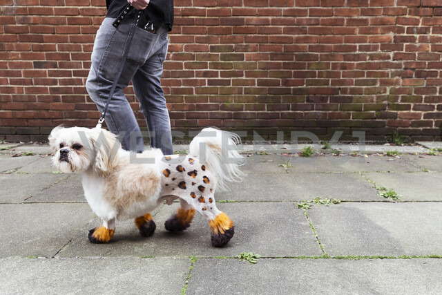Man walking groomed dog with dyed shaved fur - CUF07277 - Igor Emmerich/Westend61