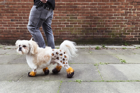Man walking groomed dog with dyed shaved fur - CUF07277