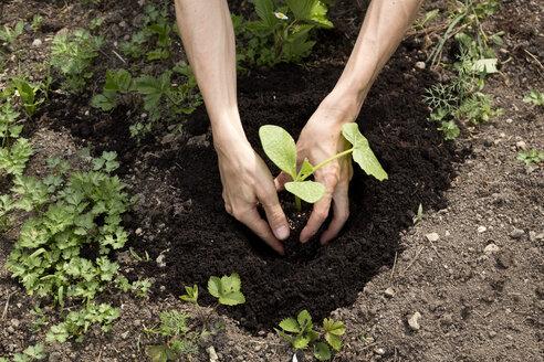 Organic garden, gardener planting a pumpkin plant - NDF00761