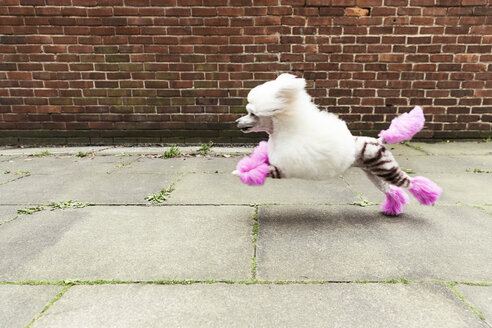 Side view of groomed dog with dyed shaved fur running - CUF08142