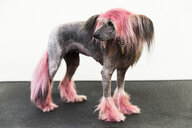 Animal portrait of groomed dog with dyed shaved fur, looking away - CUF08145