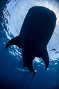 Silhouette of whale shark - CUF08202
