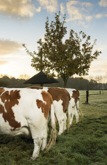 Three domestic cows in field, in a row, rear view - CUF08880
