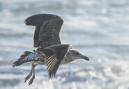 Africa, South Africa, Cape Town, Kelp gull flying over the sea - ZEF15497