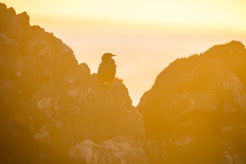 Africa, South Africa, Cape Town, Bird sitting on the rocks during sunset - ZEF15500
