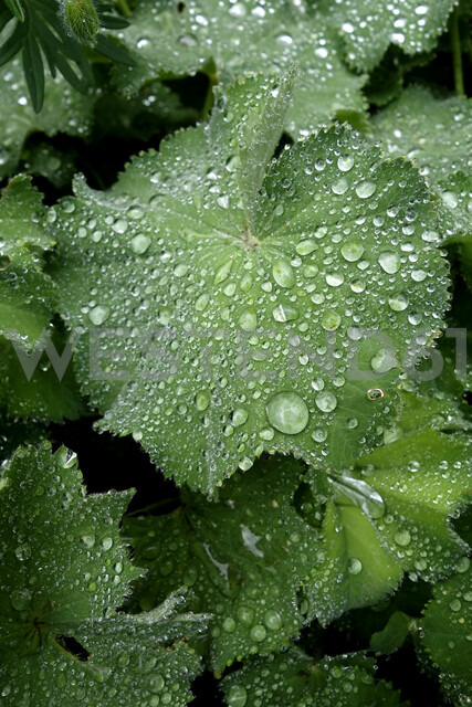 Raindrops on leaves of lady's mantle - NDF00766