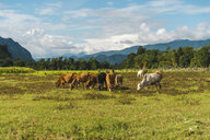 Laos, Vang Vieng, cows in field - AFVF00525