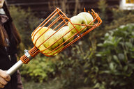 Woman holding fruit picker full of fresh apples, close-up - ISF02563