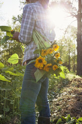 Young woman selecting sunflowers (helianthus) from sunlit flower farm field - ISF04431