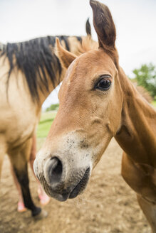 Portrait of young foal, close-up - ISF04476
