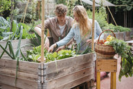 Young man and woman picking vegetables from wooden trough - ISF04648