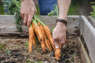 Man in vegetable garden harvesting carrots - ISF04666