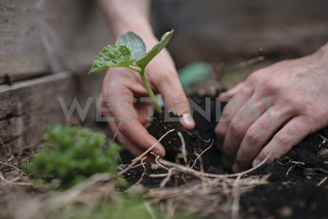 Man planting seedlings in soil - ISF04669 - Arno Images/Westend61