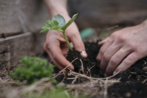 Man planting seedlings in soil - ISF04669